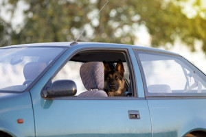 43947898 - dog in hot car in summer