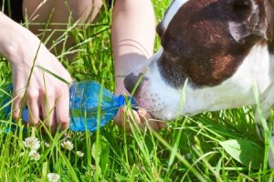 21006310 - woman gives to drink her dog out of the bottle in hot weather
