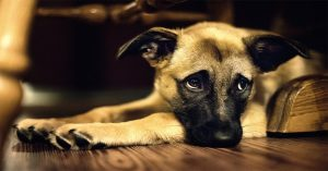 Does your dog have Cushing's Disease... and can't tell you?